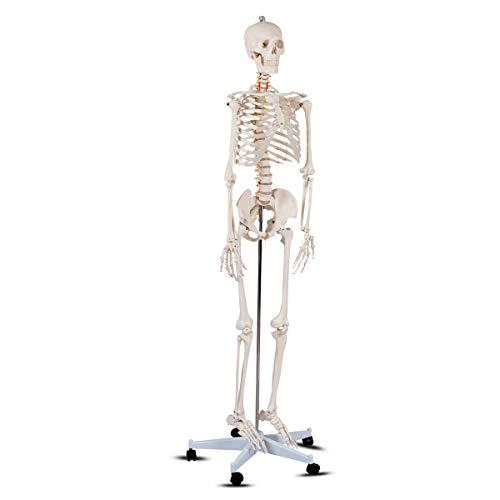 Giantex B010L18XEW Life Size 70.8' Human Anatomical Anatomy Skeleton Medical Model + Stand