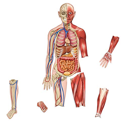 Learning Resources Double-Sided Magnetic Human Body, 3 Foot Tall, 17 Pieces, Ages 5+