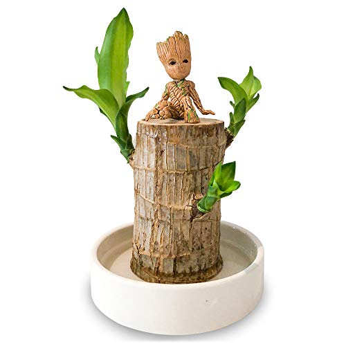 Mini Brazil Lucky Wood Hydroponic Potted Plant Stump Small Mini Plant Indoor Office Desktop Plant