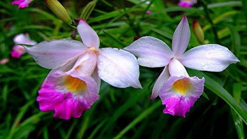 Hawaiian Bamboo Orchid Arundina Graminifolia Roots 1 Pack 2 Roots Kanoa Hawaii