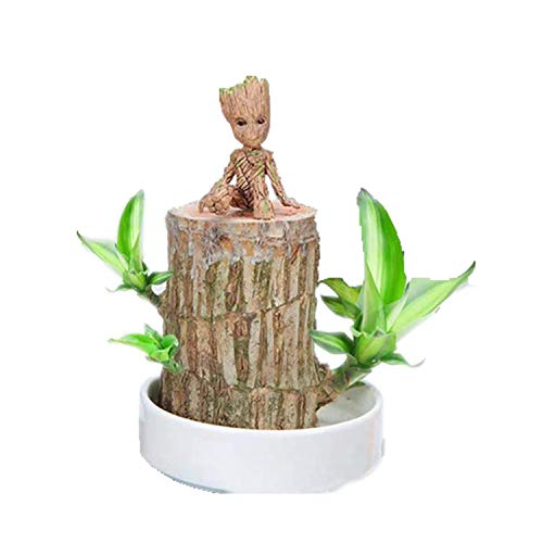 Brazilian Wood Lucky Wood Potted Water Stump Mini Badan Wood Hydroponic Plant Indoor Desktop Clean Air Green Plant Brazil Lucky Wood (L,7-8cm)