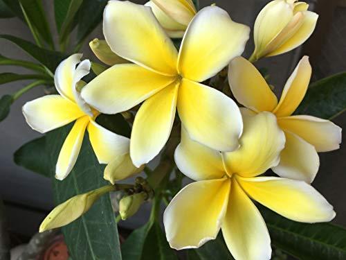 Yellow Plumeria Cuttings Hawaiian 2 Pack 9 to 12 Inches long #F2 Kanoa Hawaii