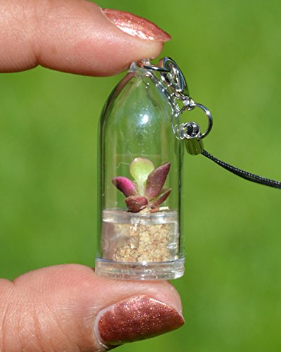 Pinky Rose Live Succulent Terrarium Plant Necklace with 17' Violet Woven String