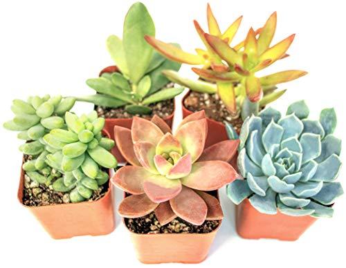 Succulent Plants (5 Pack) Assorted Potted Succulents Plants Live House Plants in Cacti and Succulent Soil Mix, Planter Pots Decor, Cactus Plants Live Indoor Plants Live Houseplants by Plants for Pets