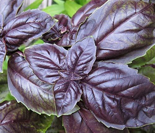 500 mg - Purple Petra Basil Seeds - Yard, Garden & Outdoor Living - Starts Nursery - tkits