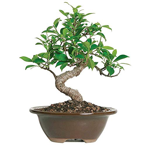 Brussel's Bonsai Live Golden Gate Ficus Indoor Bonsai Tree-4 Years Old 5' to 8' Tall with Decorative Container, Small