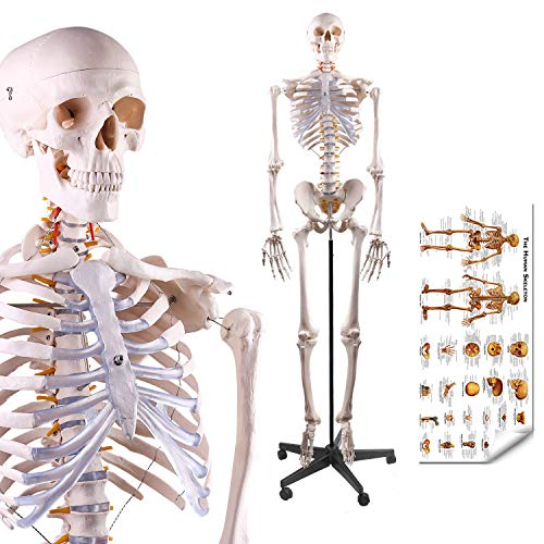 LYOU Human Skeleton Model, Medical Anatomical Skeleton Life Size 70.8 in with Rolling Stand for Anatomy Teaching and Studying, Colorful Poster Includes