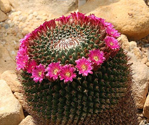 Mammillaria mystax Cactus Seeds (25 Seeds)