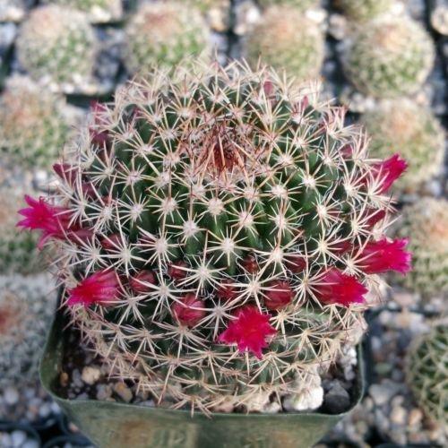 Live Plant Mammillaria mystax Cactus Succulent