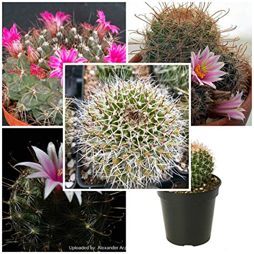 Seeds Combo 5 Species of Mammillaria (25 Seeds of M. melanocentra, 25 Seeds of M. microcarpa v. grahamii, 25 Seeds M. milleri, 25 Seeds M. mystax, 25 Seeds of M. nejapensis)- Individually Packaged